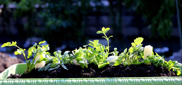 大分県産 春の七草の寄せ植え2